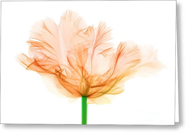 Tulips, X-ray Greeting Card by Ted Kinsman