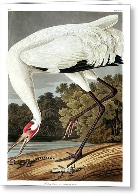 Whooping crane greeting cards fine art america whooping crane greeting card m4hsunfo