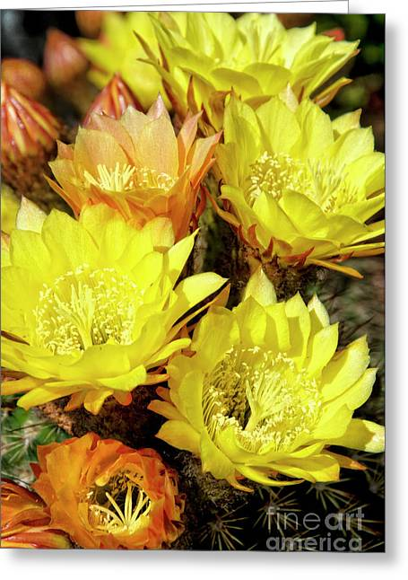 Yellow Cactus Flowers Greeting Card by Jim and Emily Bush