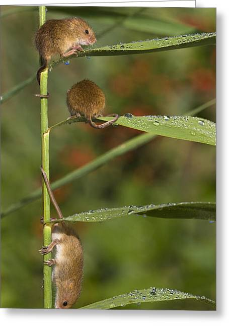 Young Eurasian Harvest Mice Greeting Card