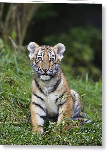 Altaica Greeting Cards - Siberian Tiger Panthera Tigris Altaica Greeting Card by Konrad Wothe