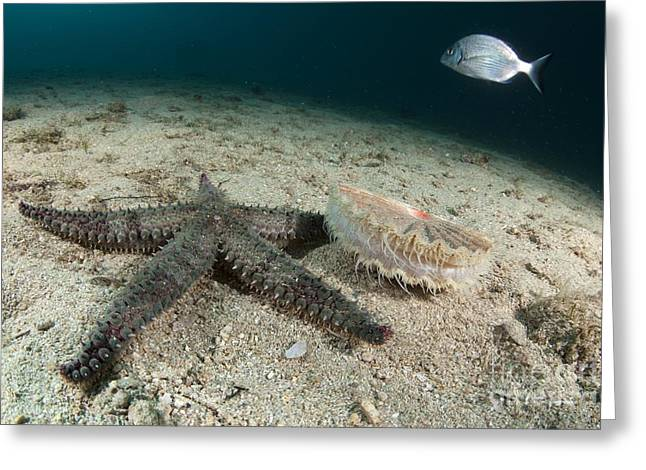 Starfish Hunting A Scallop Greeting Card by Angel Fitor