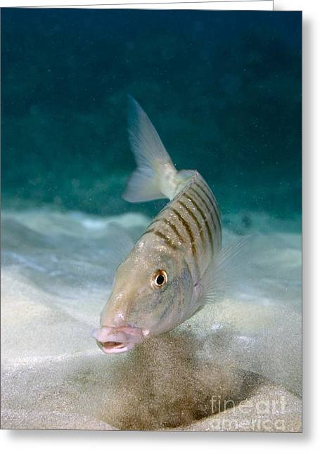 Striped Seabream Searching For Prey Greeting Card by Angel Fitor