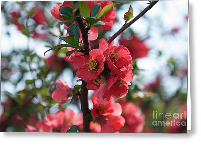Tree Blossoms Greeting Card by Elvira Ladocki
