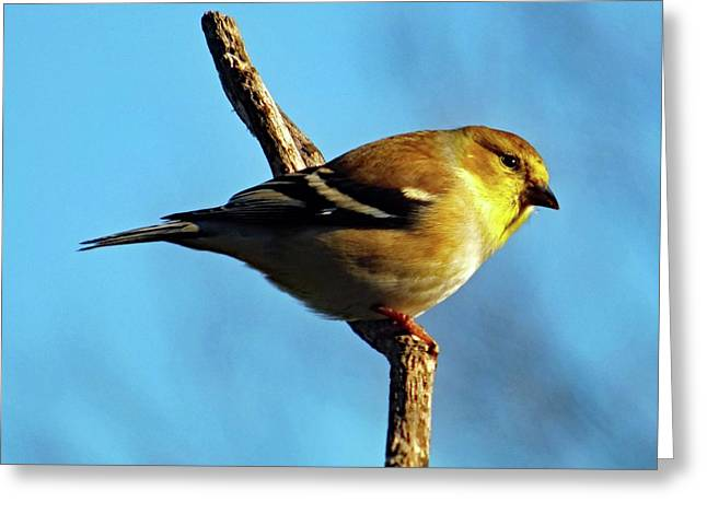 American Goldfinch Greeting Card by Cindy Treger