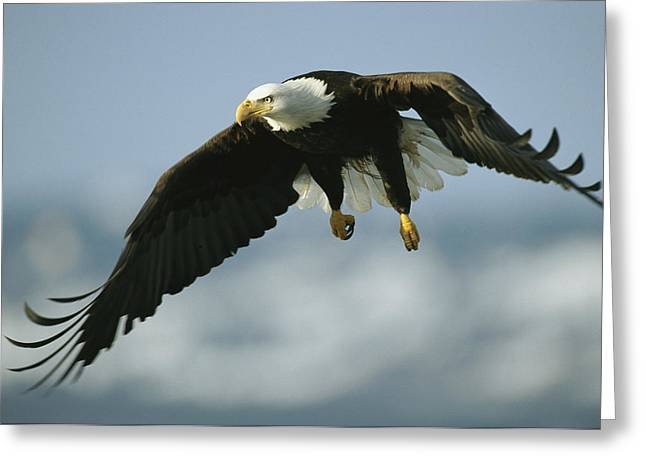 An American Bald Eagle In Flight Greeting Card by Klaus Nigge