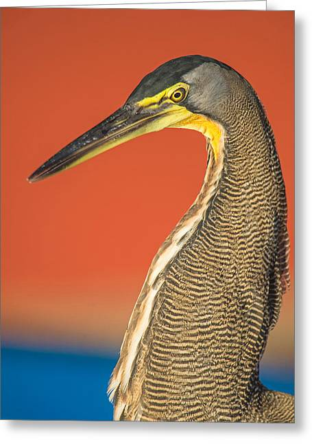 Bare-throated Tiger Heron Tigrisoma Greeting Card