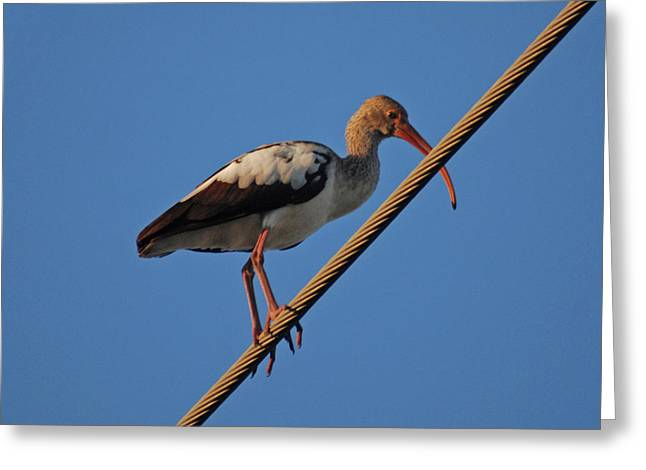 Greeting Card featuring the photograph 8- Brown Ibis by Joseph Keane