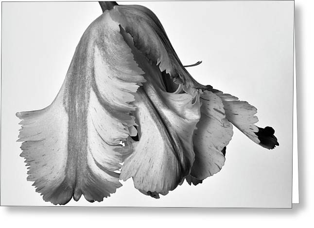 French Tulip Greeting Card by Robert Ullmann