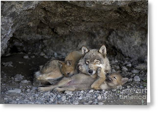 Gray Wolf And Cubs Greeting Card by Jean-Louis Klein & Marie-Luce Hubert