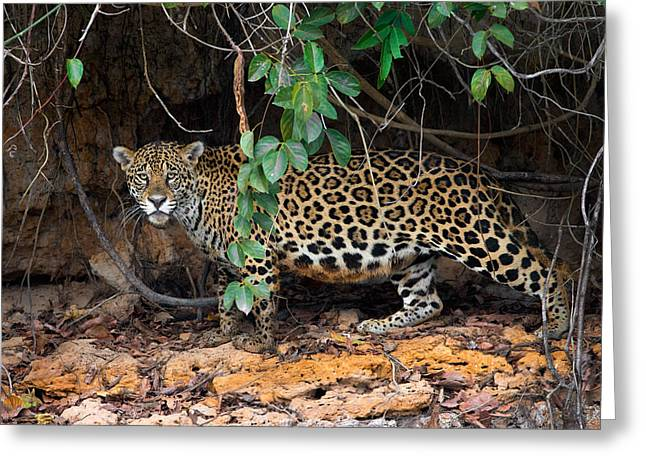Jaguar Panthera Onca, Pantanal Greeting Card