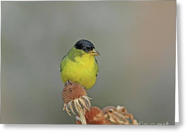 Lesser Goldfinch Greeting Card