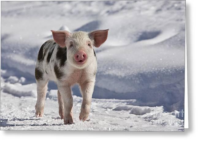 Piglet Walking In Snow Greeting Card by Jean-Louis Klein & Marie-Luce Hubert
