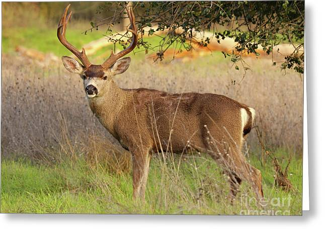 Greeting Card featuring the photograph 8-point Black-tailed Deer Buck Broadside by Max Allen