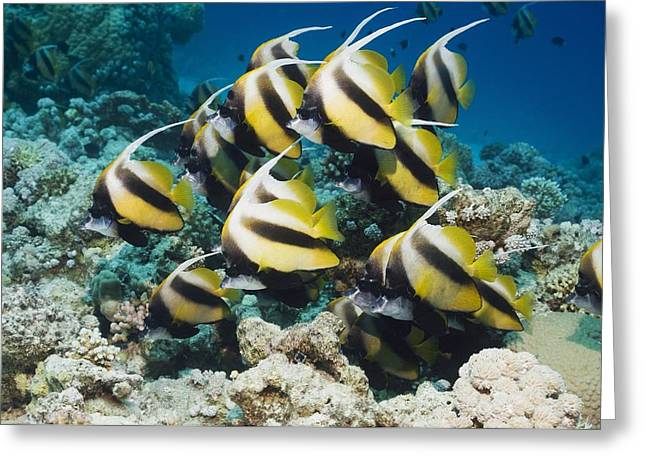 Red Sea Bannerfish Greeting Card by Georgette Douwma