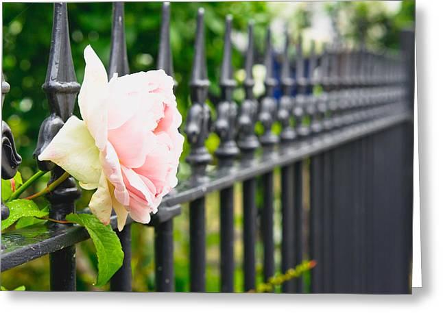 Rose Greeting Card by Tom Gowanlock