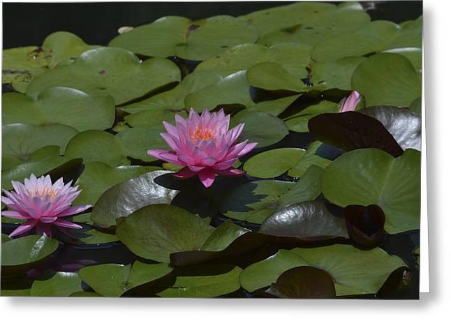 Water Lilies Greeting Card by Linda Geiger
