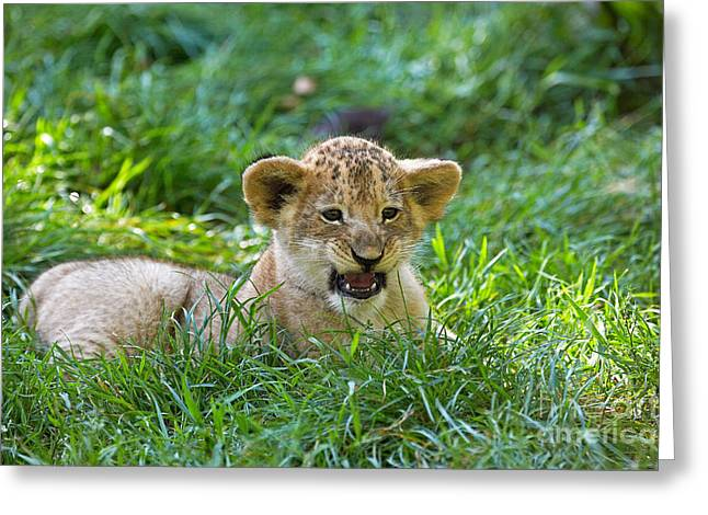 African Lion Panthera Leo Greeting Card by Gerard Lacz