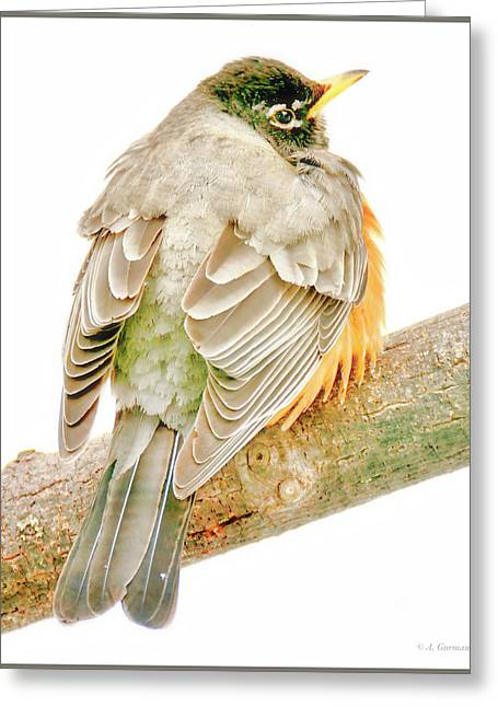 American Robin Male, Animal Portrait Greeting Card