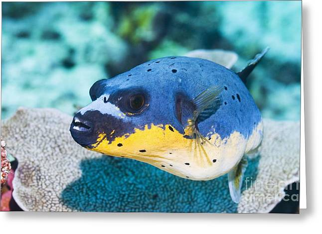 Blackspotted Puffer Greeting Card