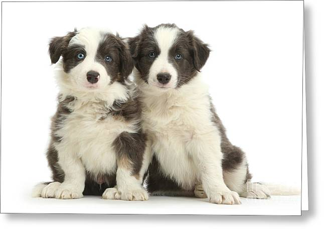Border Collie Pups Greeting Card by Mark Taylor