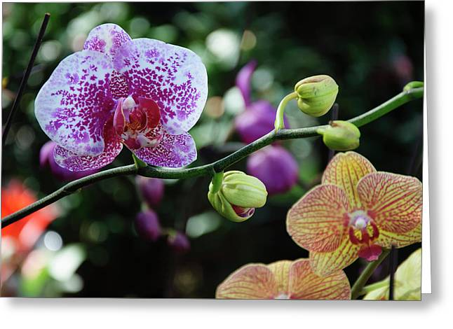 Butterfly Orchid Flowers Greeting Card