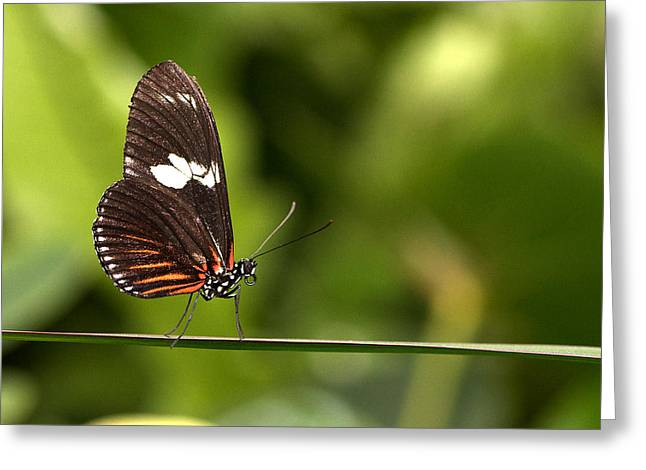 Butterfly Greeting Card by Theo Tan