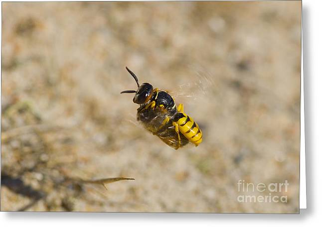 European Beewolf Greeting Card by Steen Drozd Lund