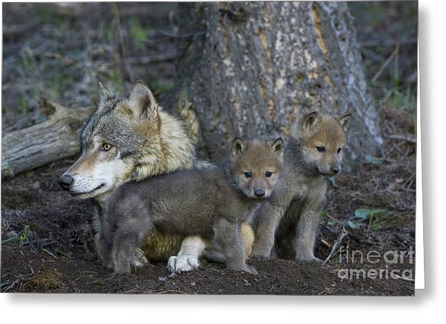 Gray Wolf And Cubs Greeting Card