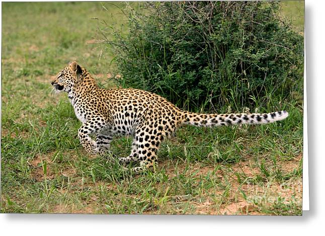 Leopard Panthera Pardus Greeting Card