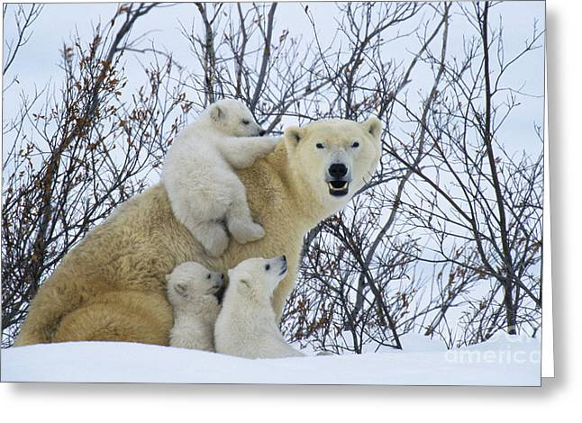 Polar Bear And Cubs Greeting Card by Jean-Louis Klein and Marie-Luce Hubert