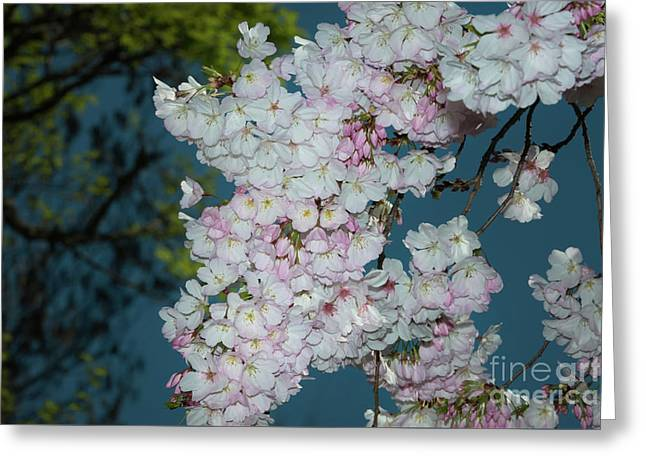 Silicon Valley Cherry Blossoms Greeting Card by Glenn Franco Simmons
