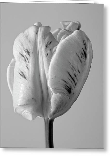 White Tulip Greeting Card by Robert Ullmann