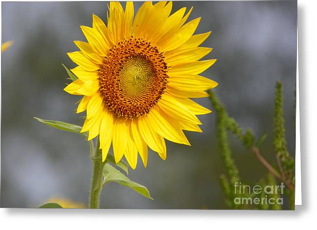 #933 D959 You Brighten My Day Colby Farm Sunflowers Newbury Massachusetts Greeting Card by Robin Lee Mccarthy Photography
