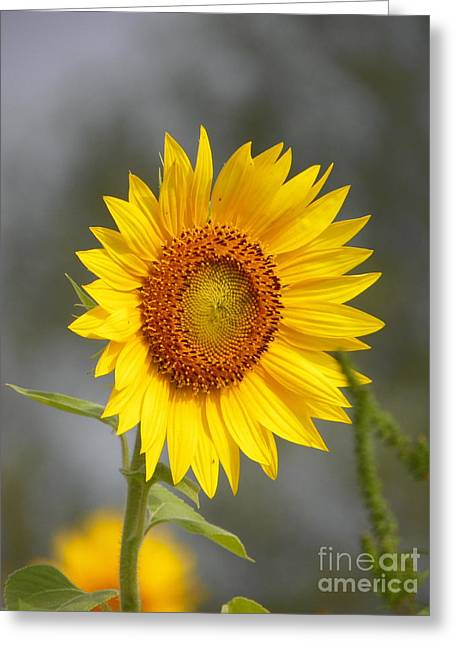 #933 D960 Bring On The Sunshine Colby Farm Sunflowers Newbury Massachusetts Greeting Card by Robin Lee Mccarthy Photography