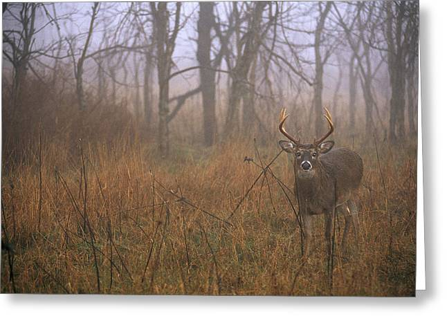 Shenandoah National Park Greeting Cards - A 8-point White-tailed Deer Buck Greeting Card by Raymond Gehman