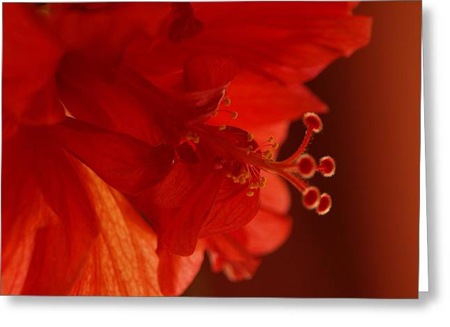A Backlit Hibiscus Greeting Card