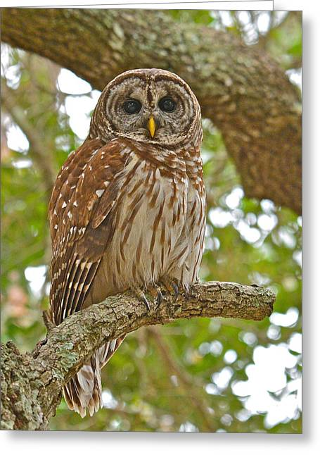 A Barred Owl Greeting Card