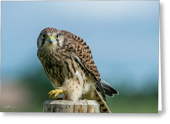 A Beautiful Young Kestrel Looking Behind You Greeting Card
