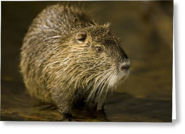 A Beaver From The Omaha Zoo Greeting Card by Joel Sartore