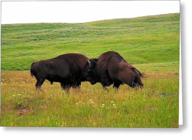 A Bison Brawl Greeting Card by Jeff Swan