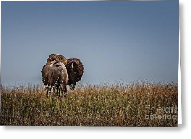 A Bison Interrupted Greeting Card by Tamyra Ayles