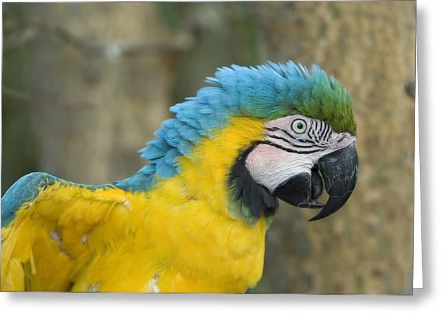 A Blue-and-yellow Macaw Ara Ararauna Greeting Card by Joel Sartore