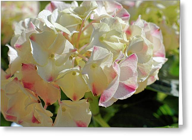 Greeting Card featuring the photograph A Blush Of Pink by Cricket Hackmann