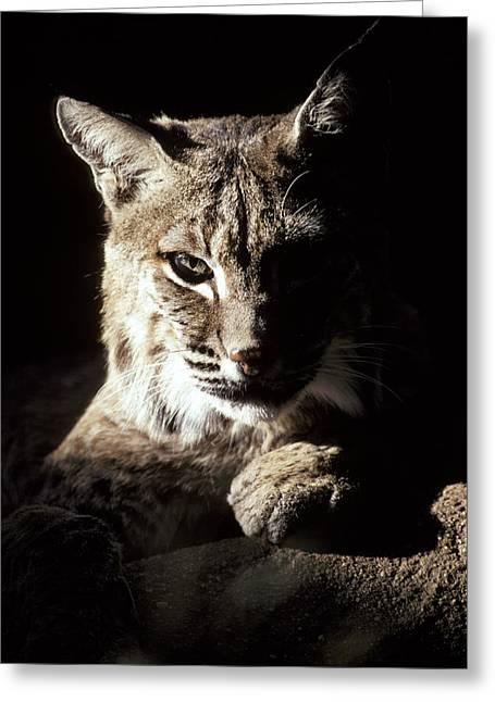 A Bobcat Sitting In A Ray Of Sun Greeting Card by Jason Edwards