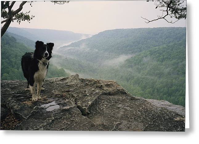 A Border Collie Stands On The Bluff Greeting Card by Stephen Alvarez