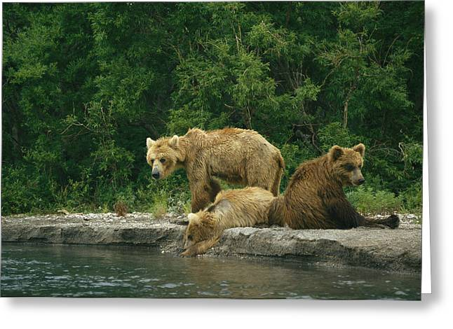 A Brown Bear Mother And Two Cubs Greeting Card by Klaus Nigge