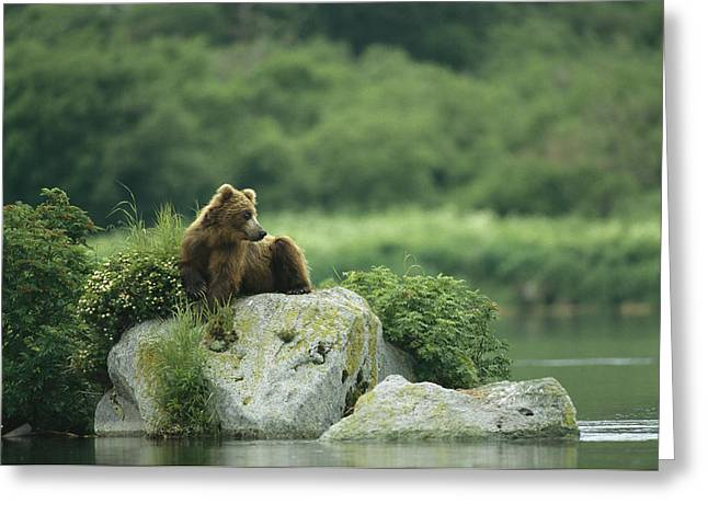 A Brown Bear Resting On A Rock Greeting Card by Klaus Nigge