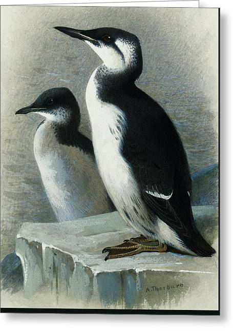 A Brunnich's Guillemot Or Thick Billed Murre Greeting Card by Archibald Thorburn