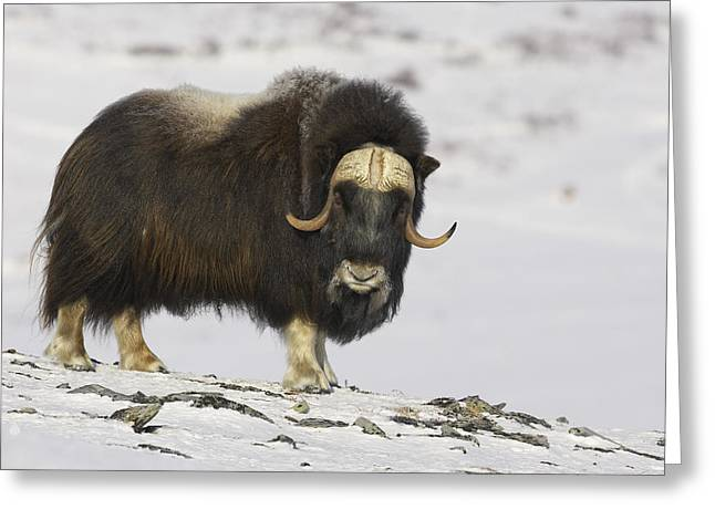 Musk Greeting Cards - A Bull Musk Ox Greeting Card by Tim Grams
